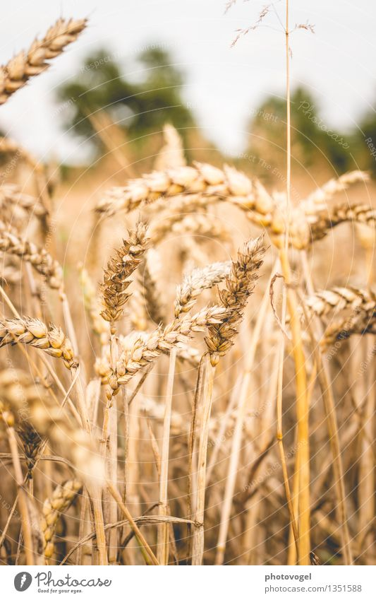 Straws ahead Environment Nature Animal Plant Bushes Agricultural crop Field Yellow Gold Life Growth Stability Grain Grain field Colour photo Exterior shot