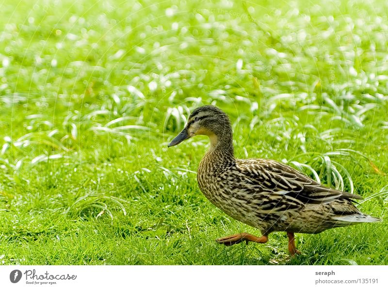 Duck Duck birds Drake Bird Quack Beak Feather Meadow Daisy Flower meadow Goose Multicoloured Mallard Animal Colouring Waddle Going Animal protection
