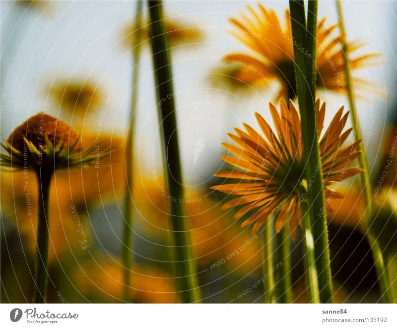 to the sun Flower Yellow Summer Physics Stalk Blossom Back-light Warmth Upward