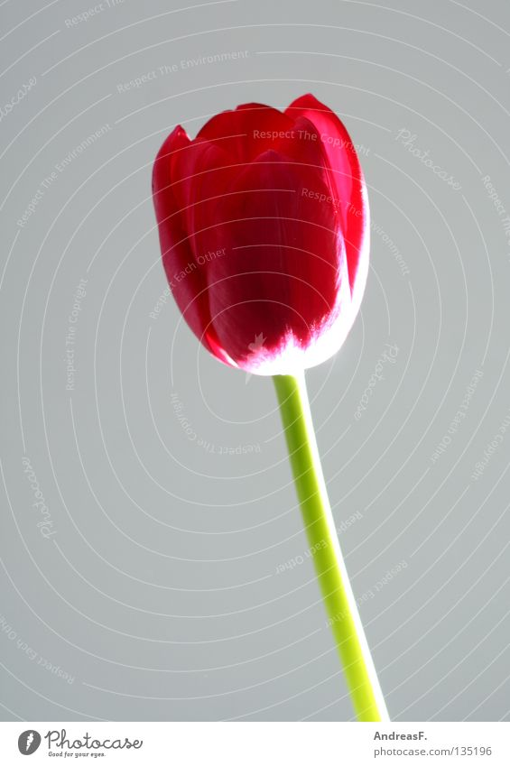 tulip Tulip Flower Blossom Spring Mother's Day Flower shop Valentine's Day Red Still Life Stalk Blossom leave Florist Joy Blossoming spring flower floral gift