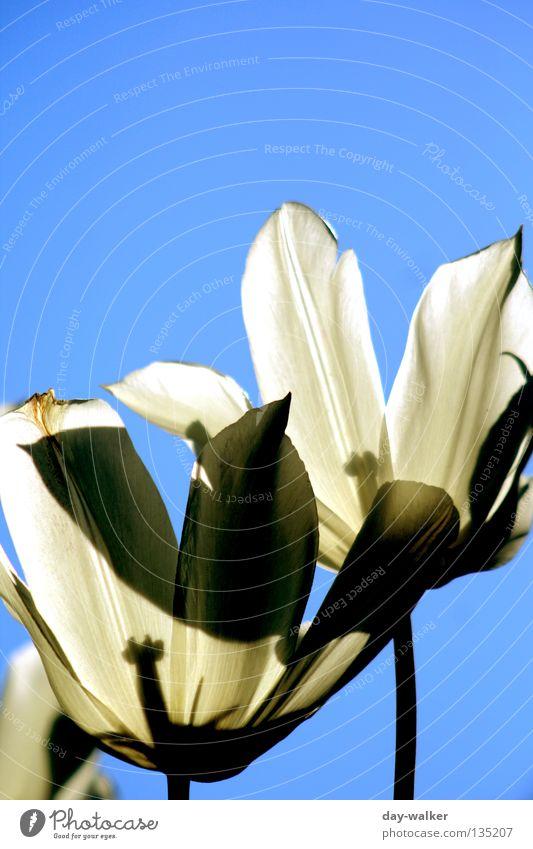 Nature Sky White Sun Flower Plant Lighting Stalk Beautiful weather Tulip Garden Bed (Horticulture) Pistil