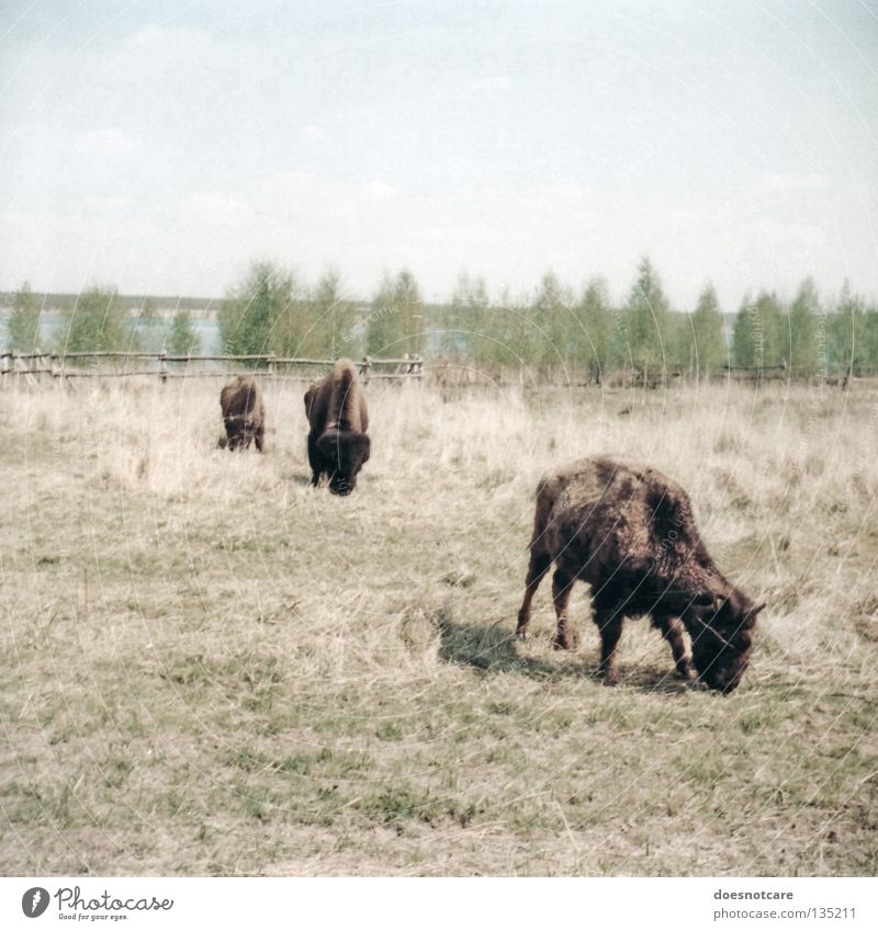 buffalo bill is dead. Nature Animal Cattle Antlers Leipzig Wild West Mammal Colour photo Subdued colour Exterior shot Day To feed Bison Pasture Copy Space top
