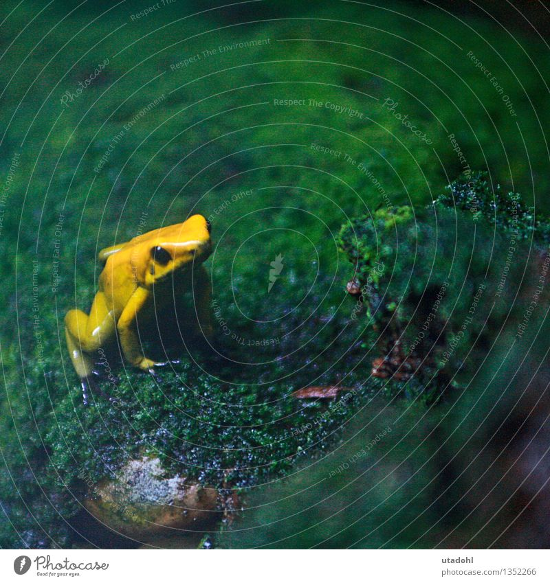 Golden poison frog Nature Landscape Plant Animal Moss Wild animal Frog 1 Sit Slimy Yellow Green Environment Virgin forest poisonous Poison Colour photo