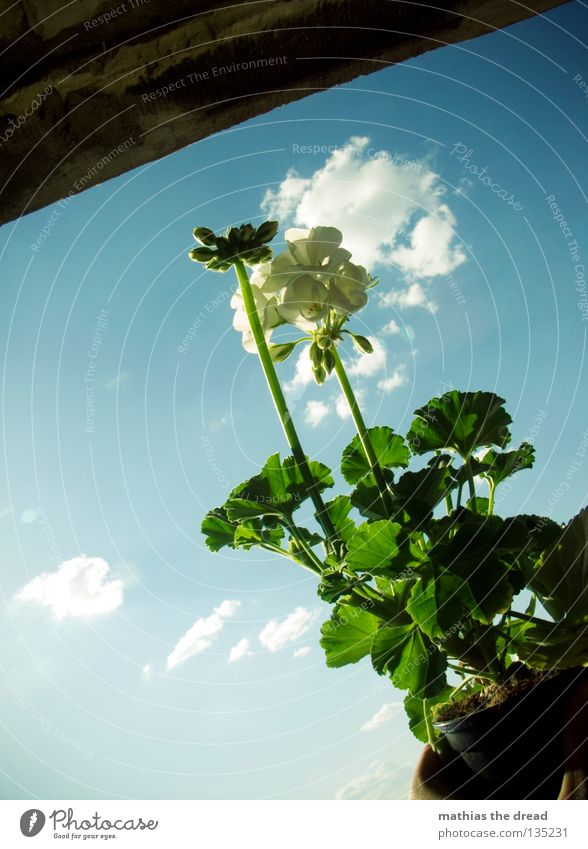 PLUME IN THE POT Geranium Flower Pot plant Plant Plantlet Foliage plant Blossom Green Organic White Sky Clouds Beautiful Brilliant Sunlight Balcony Nature Life