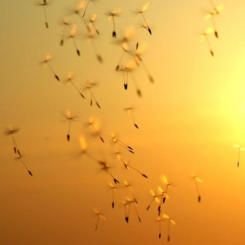 Journey to the sun. Sun Sunset Dandelion Seed Future Gale Wind Beautiful Lacking Uniqueness Multiple Sunshade Umbrellas & Shades Fertile Ambiguous