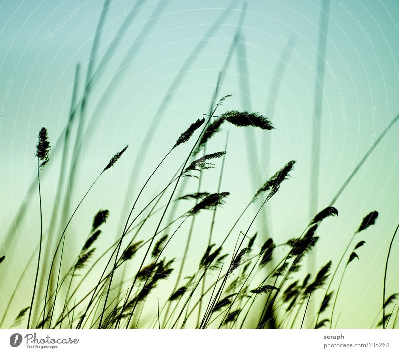 Soft Grass Common Reed Reeds Habitat Juncus Blade of grass Green Muddled Grassland Ecological Plant Meadow Diagonal Across Blur Ear of corn Environment