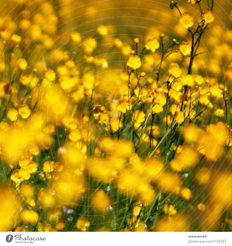 sea of buttercups Colour photo Exterior shot Day Summer Plant Flower Grass Blossom Wild plant Marsh marigold Meadow Happiness Fresh Beautiful Multicoloured