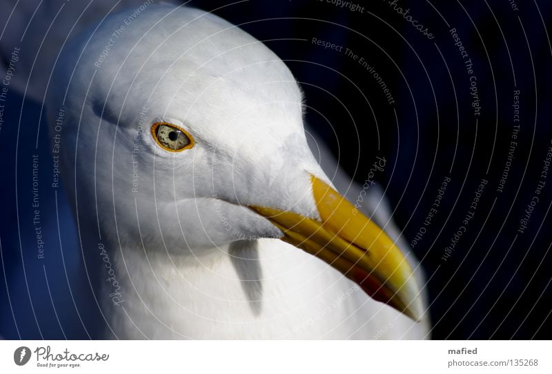 White Ocean Red Yellow Eyes Gray Flying Bird Wing Fish Baltic Sea North Sea Seagull Egg Silver Thief