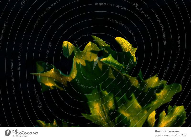 Green Plant Calm Black Dark Spring Warmth Field Physics Illuminate Garden Bed (Horticulture) Lettuce X-rayed Curls