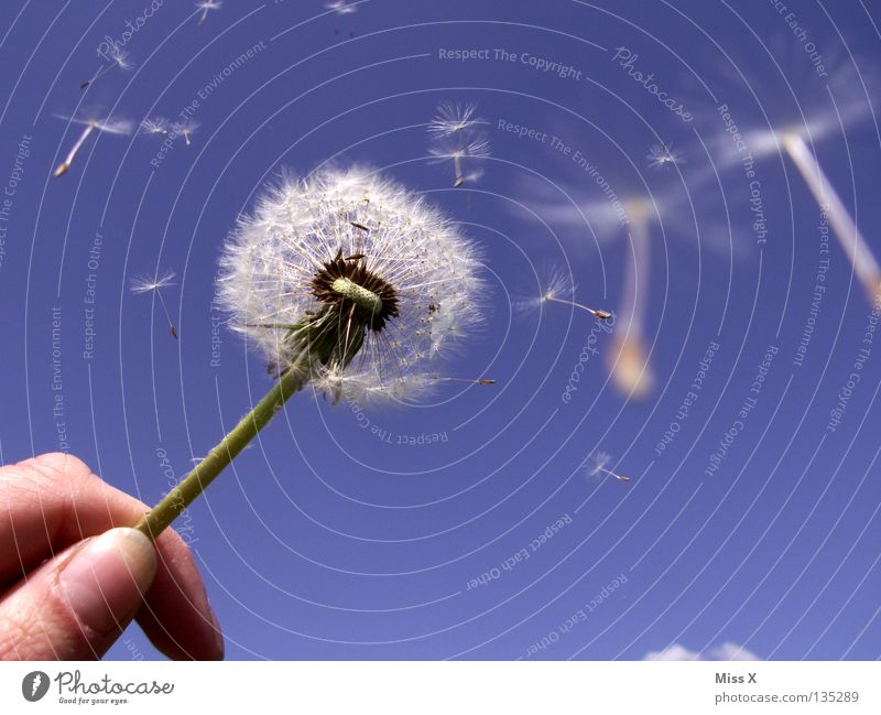 dandylion Summer Aviation Hand Fingers Sky Clouds Wind Flower Flying Blue White Dandelion Stalk Sky blue Blow Seed Freedom Colour photo Exterior shot