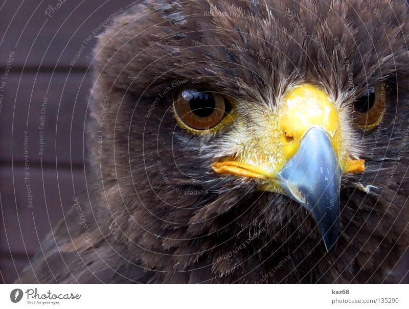 Hawk Eagle Bird of prey Watchfulness Beak Feather Ornithology Animal Beautiful Environment Portrait photograph Plumed Captured Motionless Checkmark Eagles eyes