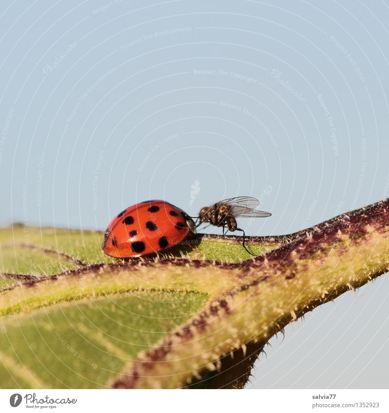 contact Nature Plant Animal Sky Summer Leaf Fly Beetle Ladybird Insect 2 Advice Touch Crawl Together Small Curiosity Cute Blue Green Red Relationship Sun