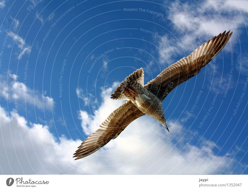 eagle Air Sky Clouds Beautiful weather Animal Wild animal Bird Seagull Gull birds Span Flying Floating Wing Feather Navel 1 Elegant Blue Brown Calm Freedom