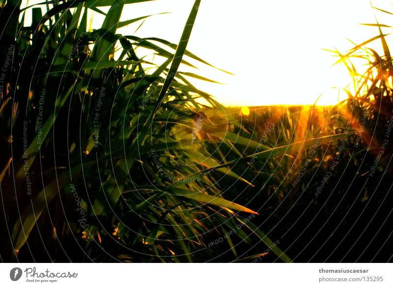 sunny idyll Grass Barley Field Sunbeam Yellow Green Dark Physics Twilight Spring Bright Warmth balanced out Evening Calm untouched Nature