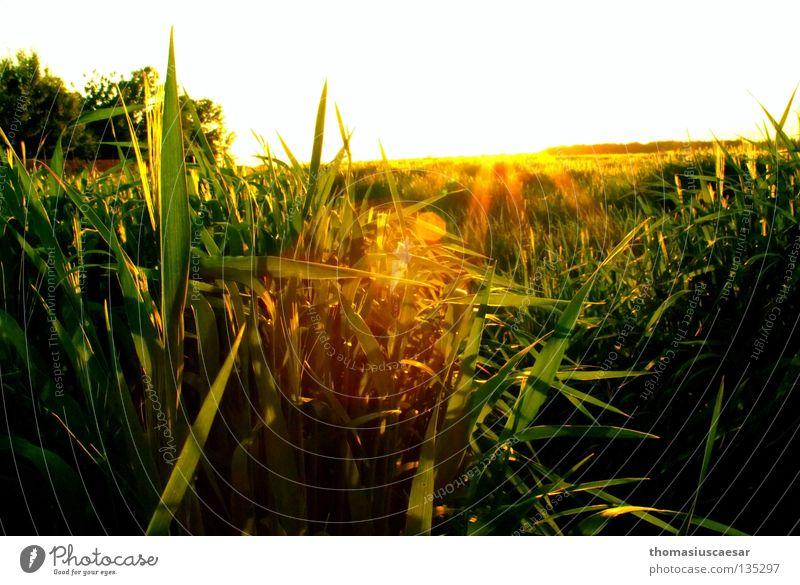 spring force Field Grass Barley Tree Yellow Green Dark Physics Twilight Sunbeam Spring Force Fresh Juicy Sky Bright Warmth Evening Nature Free