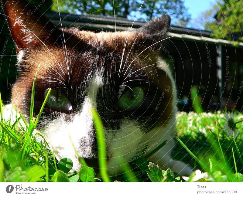 Summer Eyes Meadow Cat Grass Garden Free Mammal Pet Free-living Prowl