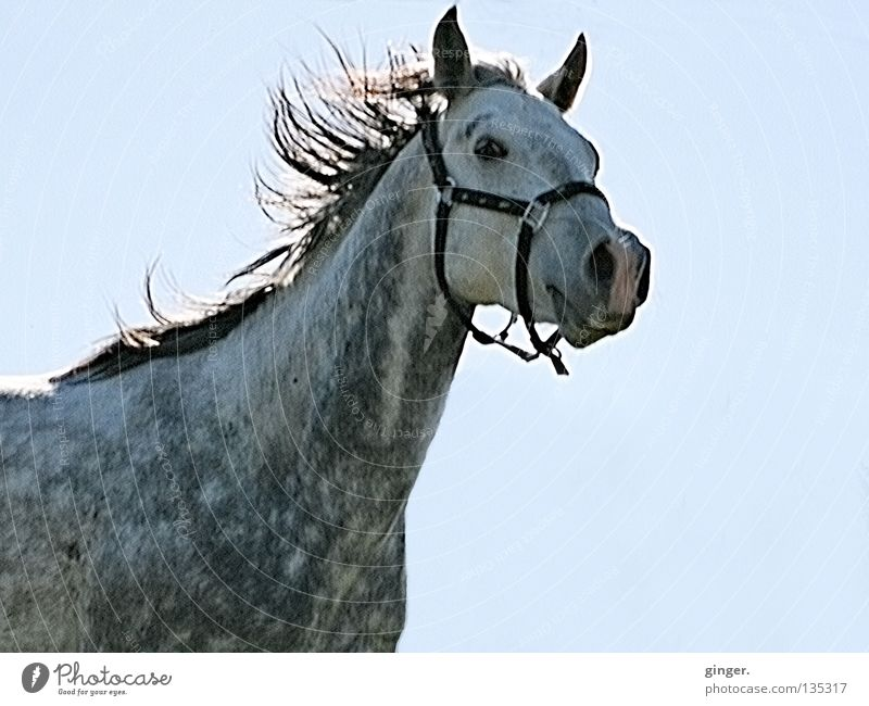 Sky Blue Beautiful Animal Gray Wild Speed Horse Cloudless sky Mammal Pride Floating Gray (horse) Equestrian sports Exuberance Mane