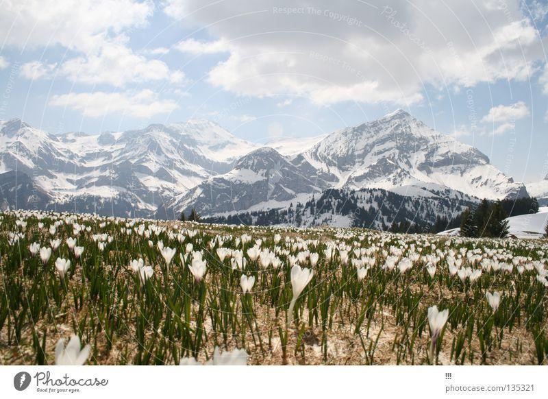 mountain spring Flower Spring Saanenland Gstaad Switzerland Crocus Blossom Mountain Snow