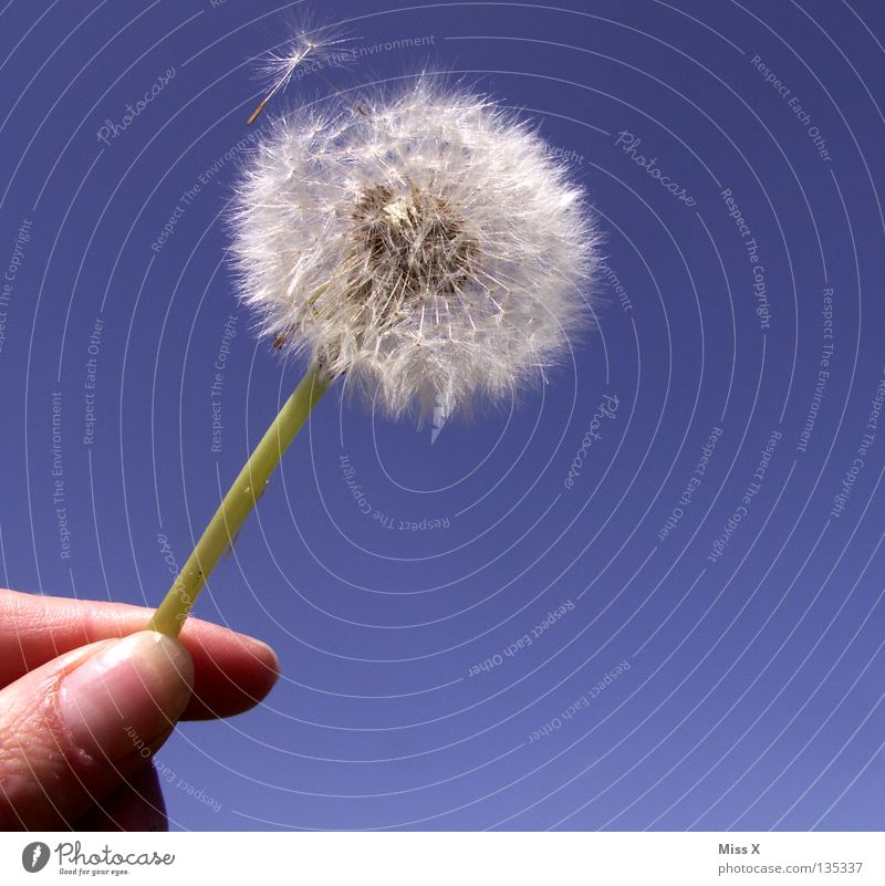Dandylion II Colour photo Exterior shot Aviation Hand Fingers Sky Flower Flying Blue White Dandelion Lion Stalk dandylion Seed
