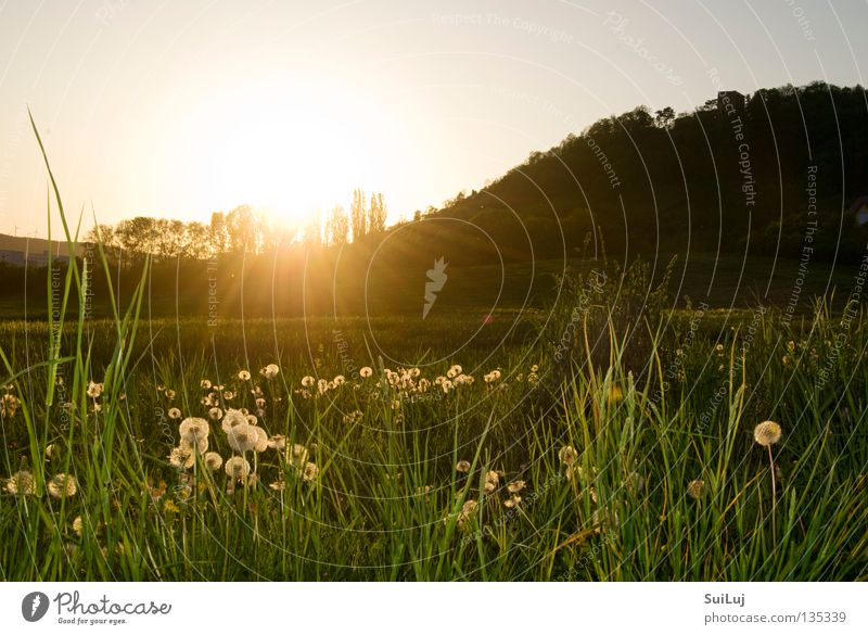 Sunset Summer Meadow Grass Horizon Dandelion Landscape