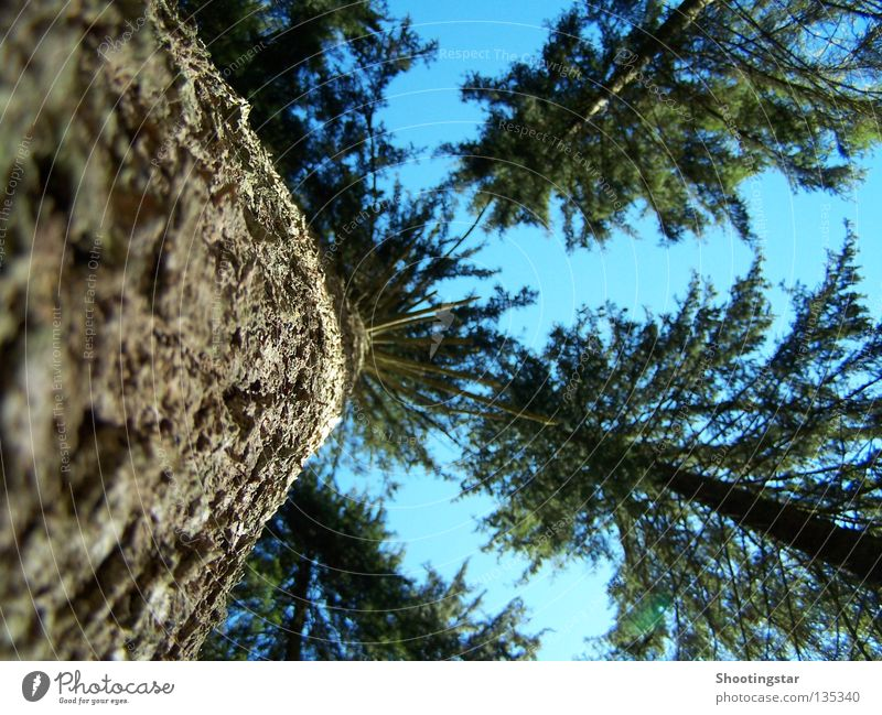 upward Tree Forest Colossus Green Growth Tree bark Fir tree Long Coniferous trees Black Forest Blue Upward Tall