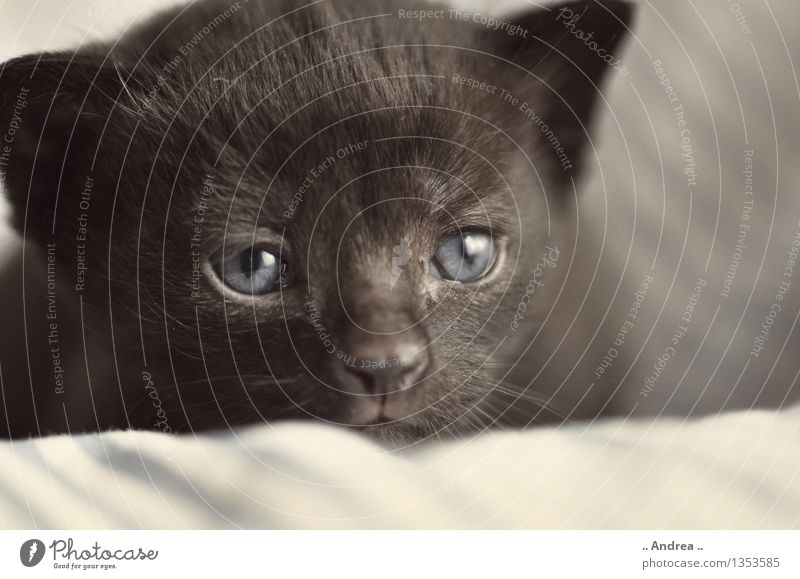 Baby cat 1 Animal Pet Cat Animal face Sleep Dream Cuddly Black Contentment Kitten Black cat blue eyes feminine putty Colour photo Subdued colour Interior shot