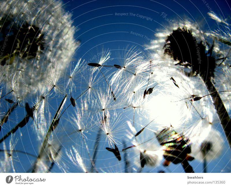Sky White Sun Flower Blue Meadow Blossom Landscape Bright Lighting Flying Multiple Transience Dandelion Many Seed