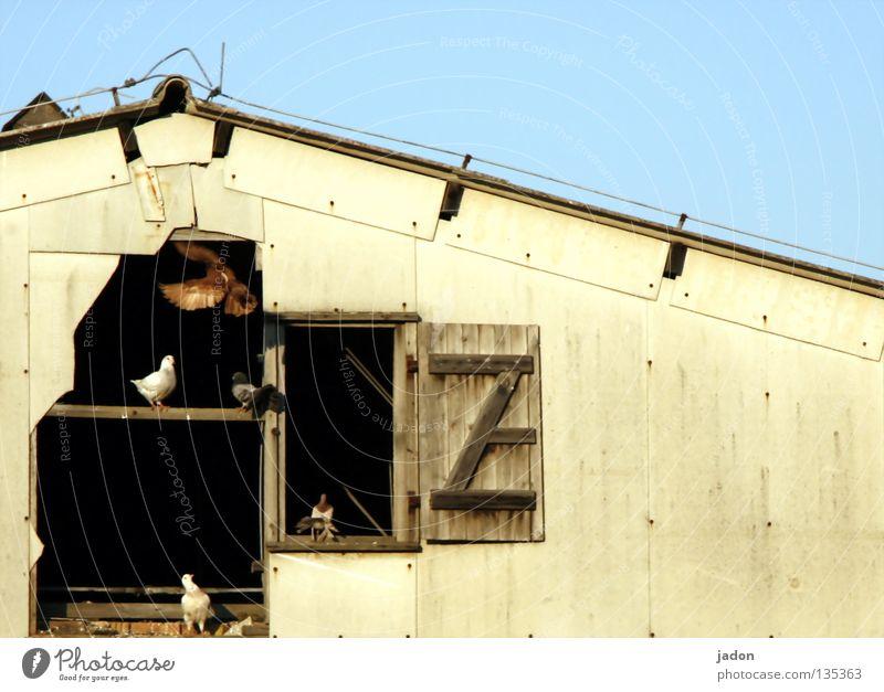 Calm Window Wood Bird Broken Anger Farm Frame Seating Pigeon Barn Aggravation Neighbor Tenant Crash Brandenburg