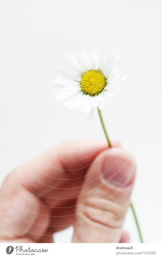 Hand Summer Flower Small Blossom Birthday Fingers Gift Delicate Harvest Daisy Give Pollen Graceful Donate Mother's Day