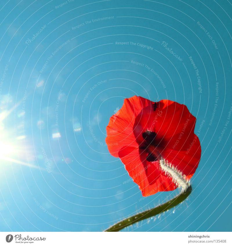 Nature Sky Sun Flower Blue Red Summer Spring Stalk Poppy Turquoise Corn poppy