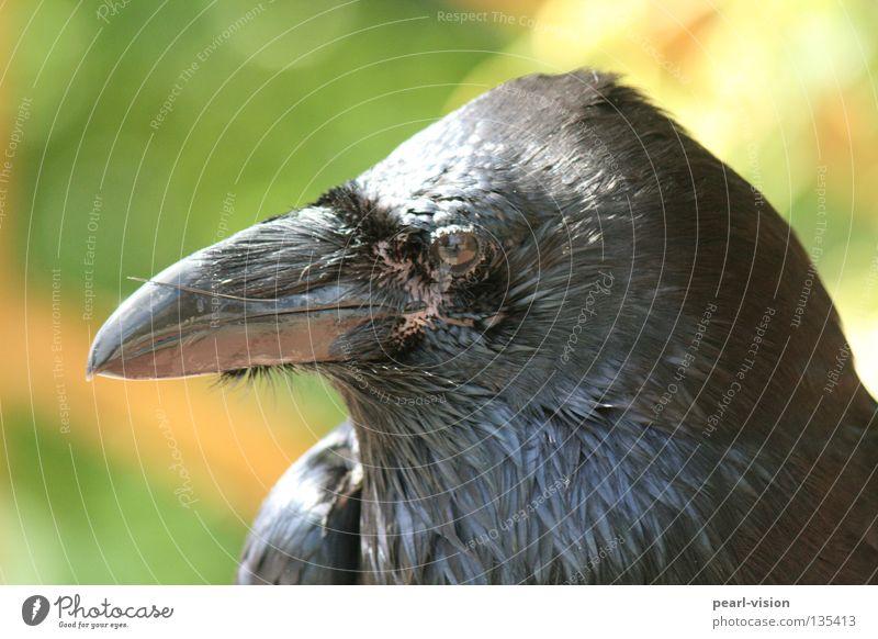 Black Relaxation Power Bird Break Open Watchfulness Beak Animal Raven birds Crow