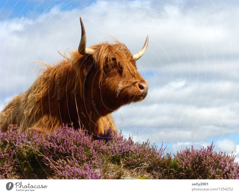 Hairdresser model... Hair and hairstyles Bangs Animal Farm animal Cow Highland cattle 1 Observe Lie Dream Wait Friendliness Brown Antlers Mountain heather