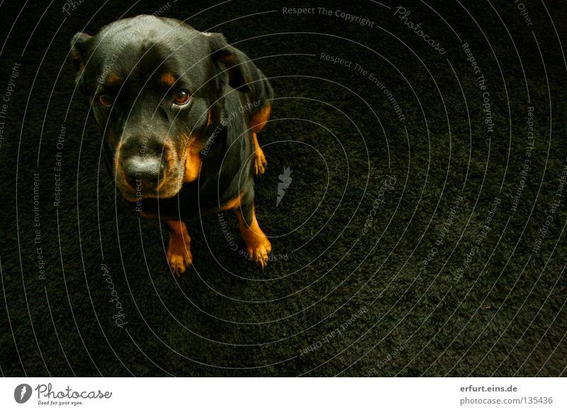 Beautiful Black Animal Eyes Colour Emotions Dog Brown Sit Glittering Sweet Ear Cute Pelt Lady Living room