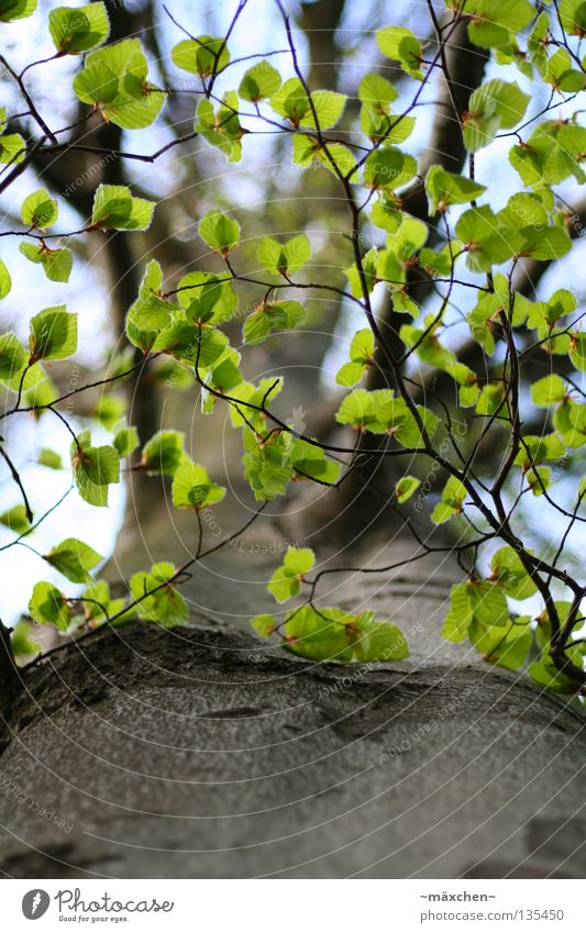 leaf canopy Tree Tree bark Leaf Green Photosynthesis Under Sky Roof Spring Summer Thin Graceful Small Maturing time Aviation Branch depth blur focus curve Above