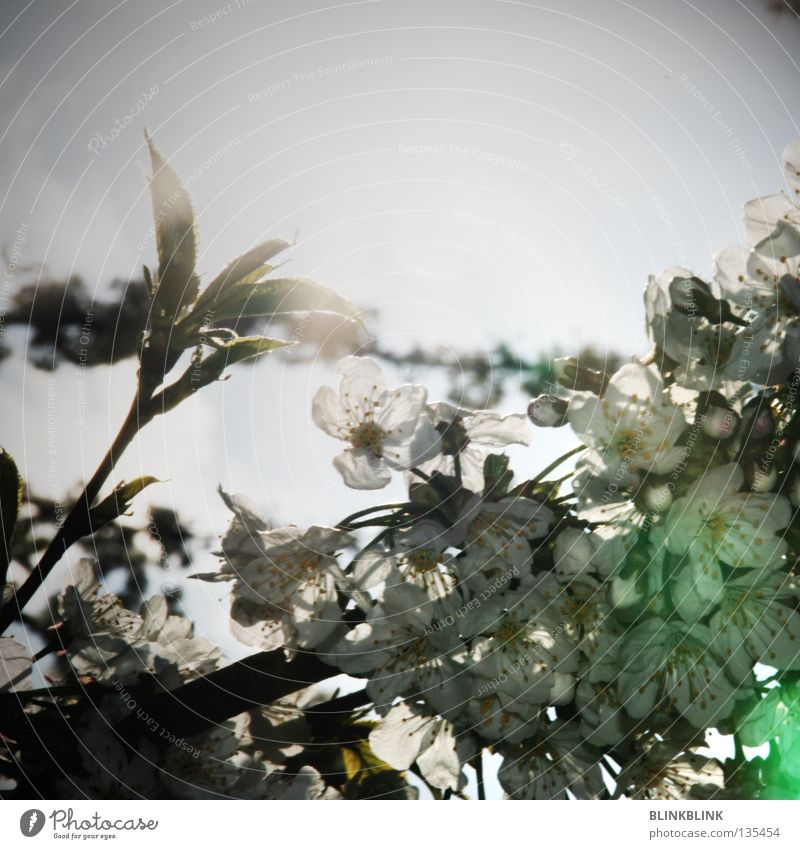 dazzled Dazzle Light Blossom Spring Aperture Wake up Tree Fresh Summer Beautiful White Blossom leave To break (something) Sunday Discover Green Gray Black