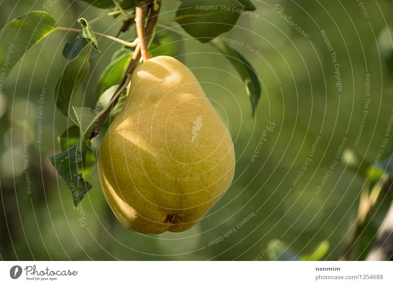 Juicy ripe pear hanging from branch Fruit Nature Autumn Leaf Yellow Green Pear Fruit Tree Pear Tree Food Branch Photography Food And Drink Ripe Stem