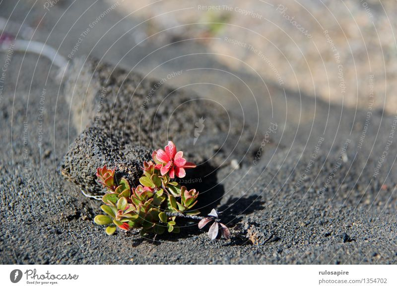 Iceland #6 Environment Nature Plant Earth Sand Flower Bushes Leaf Blossom Foliage plant Wild plant Volcano Island Desert Lava lava sand Lava field Gray Green