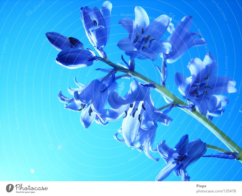 Beautiful Sky Flower Blue Plant Joy Calm Blossom Spring Transience Blossoming Seasons Bud May Play of colours Hyacinthus