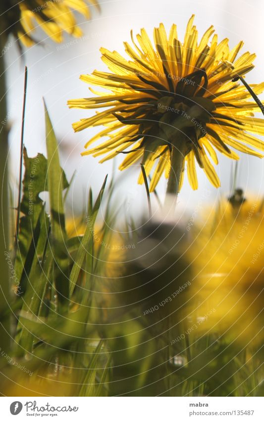 Sun Joy Yellow Life Meadow Blossom Spring Warmth Lighting Physics Blossoming Dandelion Blade of grass Caresses