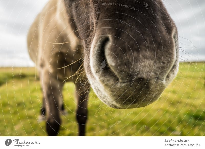 Big snout Nature Autumn Animal Horse Iceland Pony Nostrils Nose 1 Breathe Communicate To talk Large Near Odor Beard hair Language Snout Colour photo