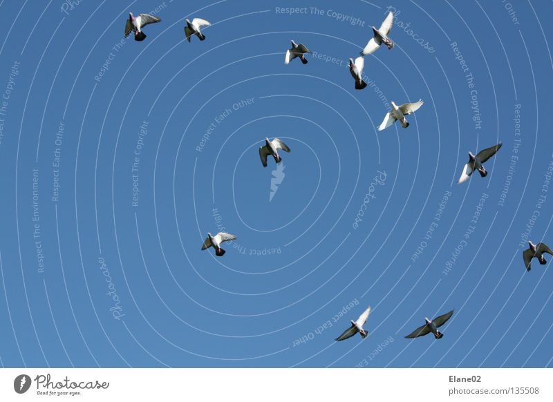Sky Air Bird Flying Pigeon Cloudless sky Blue sky Sky blue Flock of birds Flight of the birds Homing pigeon Airspace Clear sky Bright background