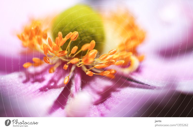 autumn anemone IV Plant Beautiful weather Flower Blossom Garden Blossoming Esthetic Exceptional Elegant Glittering Bright Natural Nature Colour photo Close-up