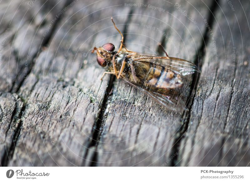 The slow death of the Lord Insect Animal Dead animal Fly Bee 1 Poverty Authentic Creepy Broken Cute Gold Gray Red Death Wood Chopping board Wing Eyes Legs
