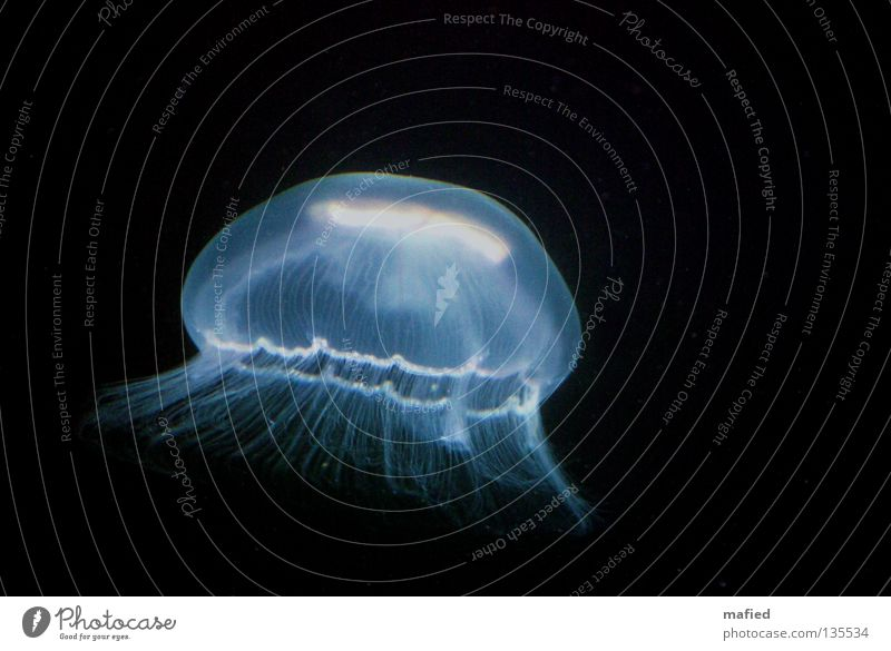deep sea Jellyfish Hover Ocean White Black Dark aurelia aurita medusa nettle threads Water Blue phosphorescent Illuminate Dark background Isolated Image