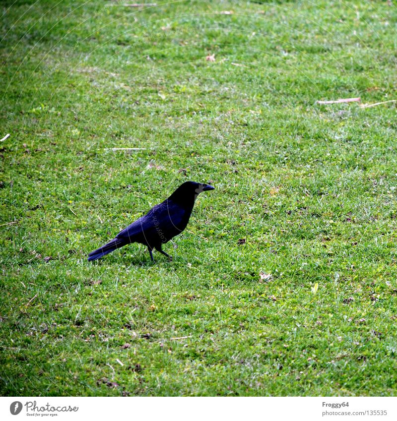 Flower Green Black Animal Meadow Grass Spring Bird Going Walking Flying Feather Zoo Beak Tails Enclosure