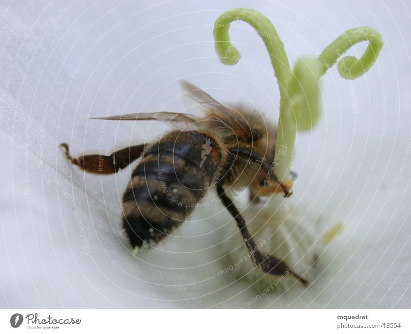 Bee_Blossom Pistil Insect Transport Pollen Macro (Extreme close-up)