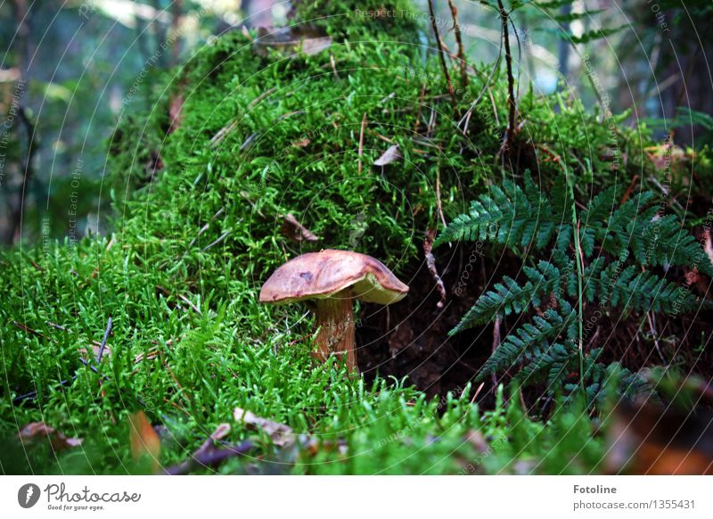 covert Environment Nature Autumn Beautiful weather Plant Moss Fern Forest Natural Brown Green Mushroom Mushroom cap Cep Colour photo Multicoloured Exterior shot