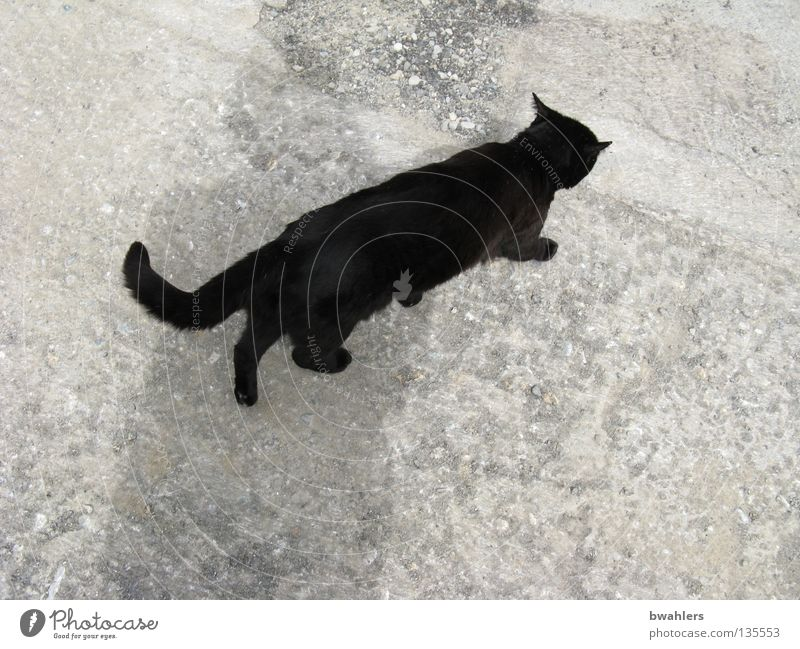 Cat from above Black Gray Tar Mammal Traffic infrastructure Walking Street Lanes & trails Stone