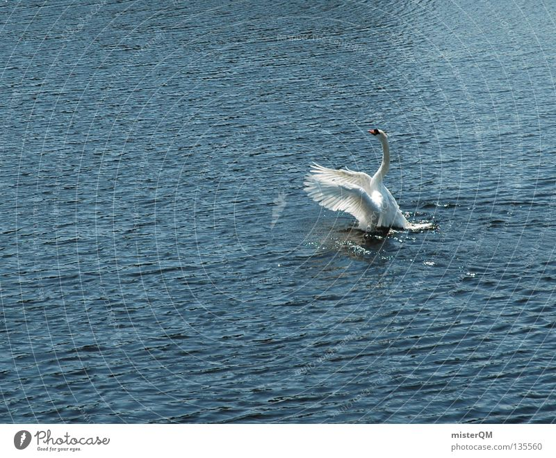 Swanlake. Lake Pond Ocean Water Beginning Above Rutting season Navigation Bird lactic River Feather Flying Upward Wing