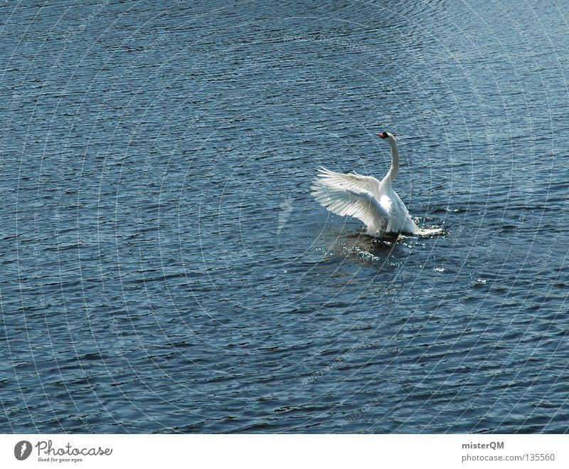 Water Ocean Above Lake Bird Flying Beginning River Feather Wing Upward Navigation Airplane landing Pond Swan Rutting season
